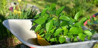 Как подготовить сладкий перец к высадке в открытый грунт?