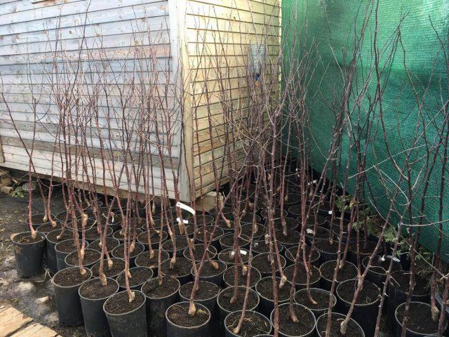 Как правильно посадить яблоню весной?