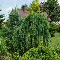 Европейская лиственница (Larix decidua), сорт «Пендула» (Pendula)