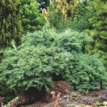 Лиственница японская (Larix kaempferi), сорт «Блу дварф» (Blue Dwarf)