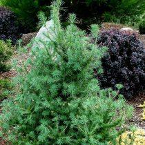 Лиственница американская, или восточная (Larix laricina), сорт «Дебора Ваксмен» (Deborah Waxman)