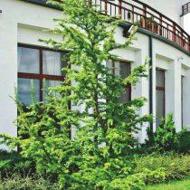 Лиственница японская (Larix kaempferi), сорт «Диана» (Diana)
