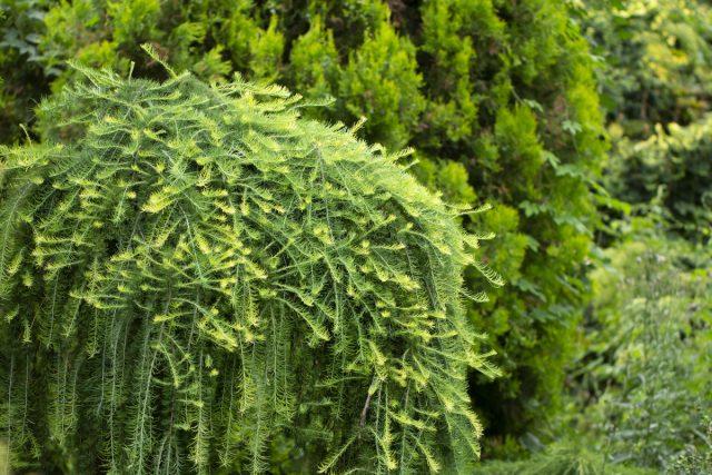 Какую лиственницу выбрать для сада и как за ней ухаживать?