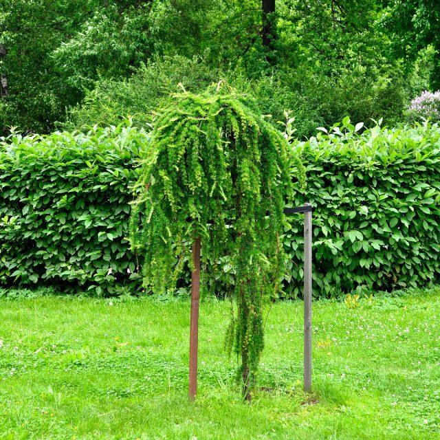 Выберите для лиственницы на своем участке такое место, где у дерева будет достаточно территории для роста