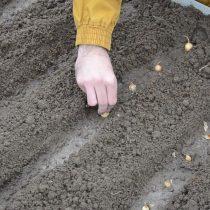 Посадка лука рассадным способом и севком: как получить крупные луковицы?