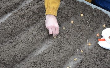 Сделайте борозды глубиной около 5-7 см. Пролейте борозды водой и высадите севок