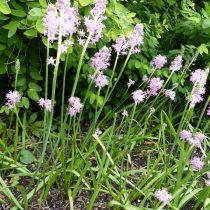 Пролеска пролесковидная (Scilla scilloides), или барнардия японская (Barnardia japonica)