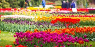 Тюльпаны — история, легенды, современные фестивали в России и за рубежом