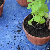 Высадите рассаду в горшок