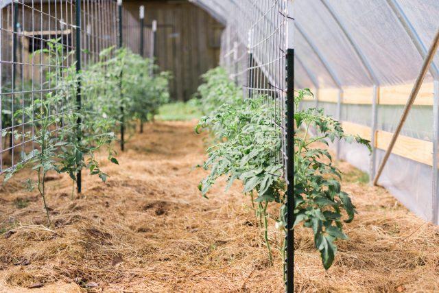 Высокорослые томаты в теплице и открытом грунте — особенности выращивания