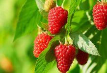 Ремонтантная малина — путь к высокому урожаю