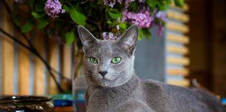 10 самых известных аборигенных пород кошек России
