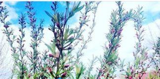 Миндальное дерево в Сибири