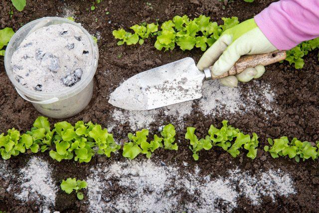 Золу можно рассыпать по почве в количестве 3-4 ст. л. на квадратный метр