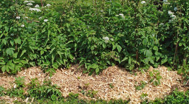 Мульчирование кустов малины