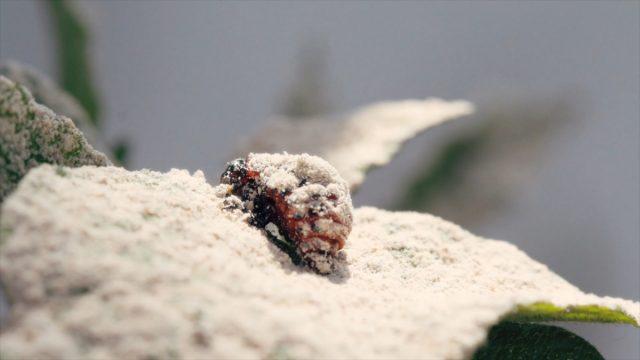 Особь колорадского жука под порошком инсектицида