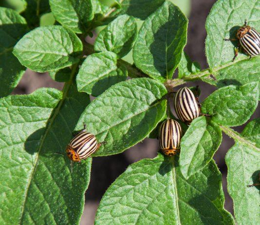 Биозащита от колорадского жука