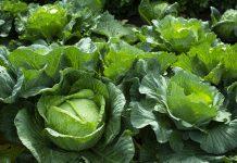 Как вырастить идеальную капусту?