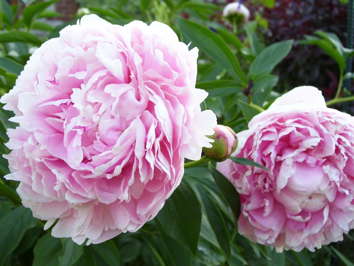 Пион молочноцветковый «Сара Бернар» (Paeonia lactiflora 'Sarah Bernhardt')