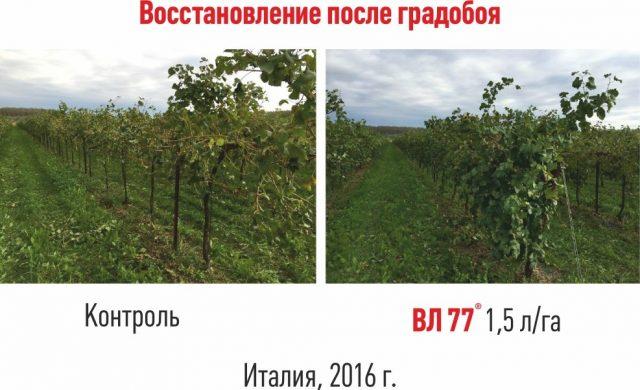 Восстановление винограда с помощью препарата «ВЛ77»