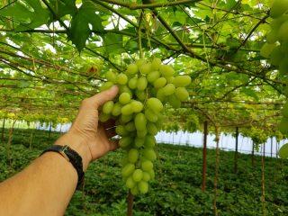 Здоровая гроздь сочного винограда на лозе