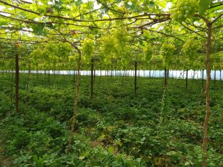 Богатый урожай винограда радует глаз