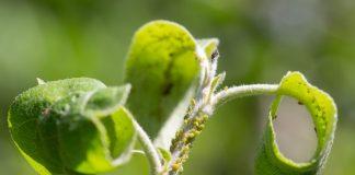 Как защитить растения от вредителей безопасно для себя?