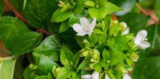 Абелия крупноцветковая — комнатная жимолость с медовым ароматом
