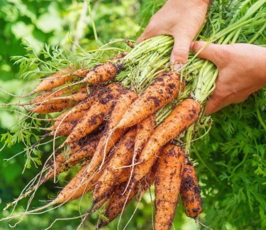 Что полезнее — вершки или корешки морковки?
