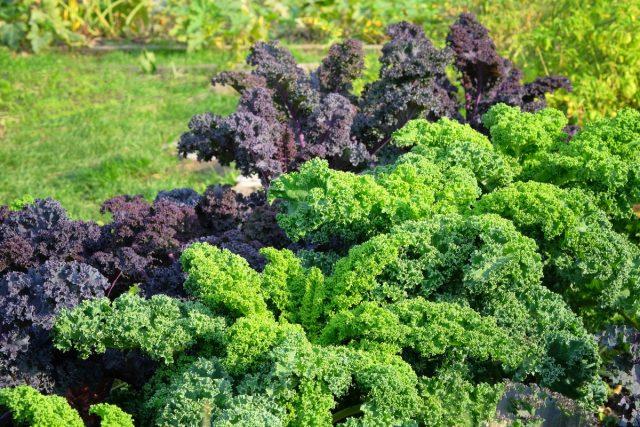 Июль— месяц посева всей «осенней» капусты