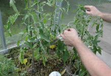 Сделайте свободный узел под первым листом томатного куста. Шпагатом обкрутите каждое междоузлие, каждый лист до макушки