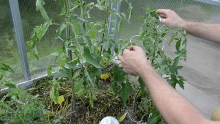 Формирование томатов: удаляем пасынки и листья правильно