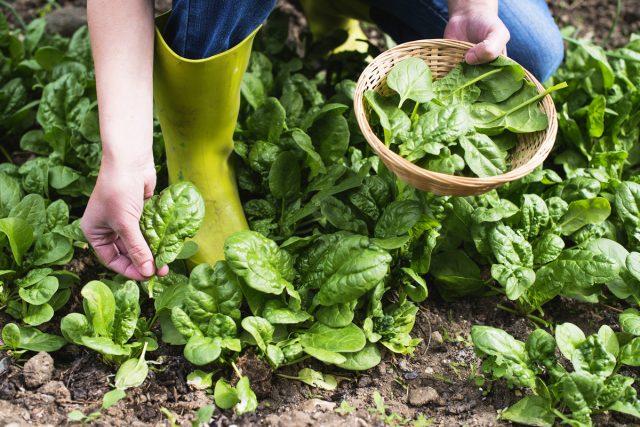 Как выращивать шпинат и получать урожай весь сезон?