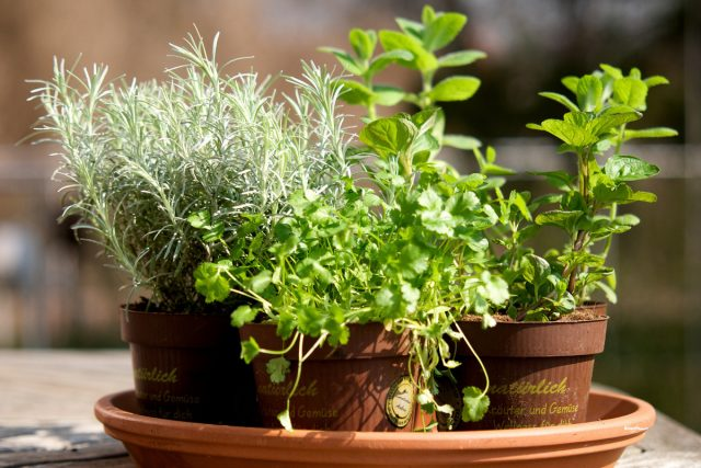 Какие целебные растения можно выращивать дома?