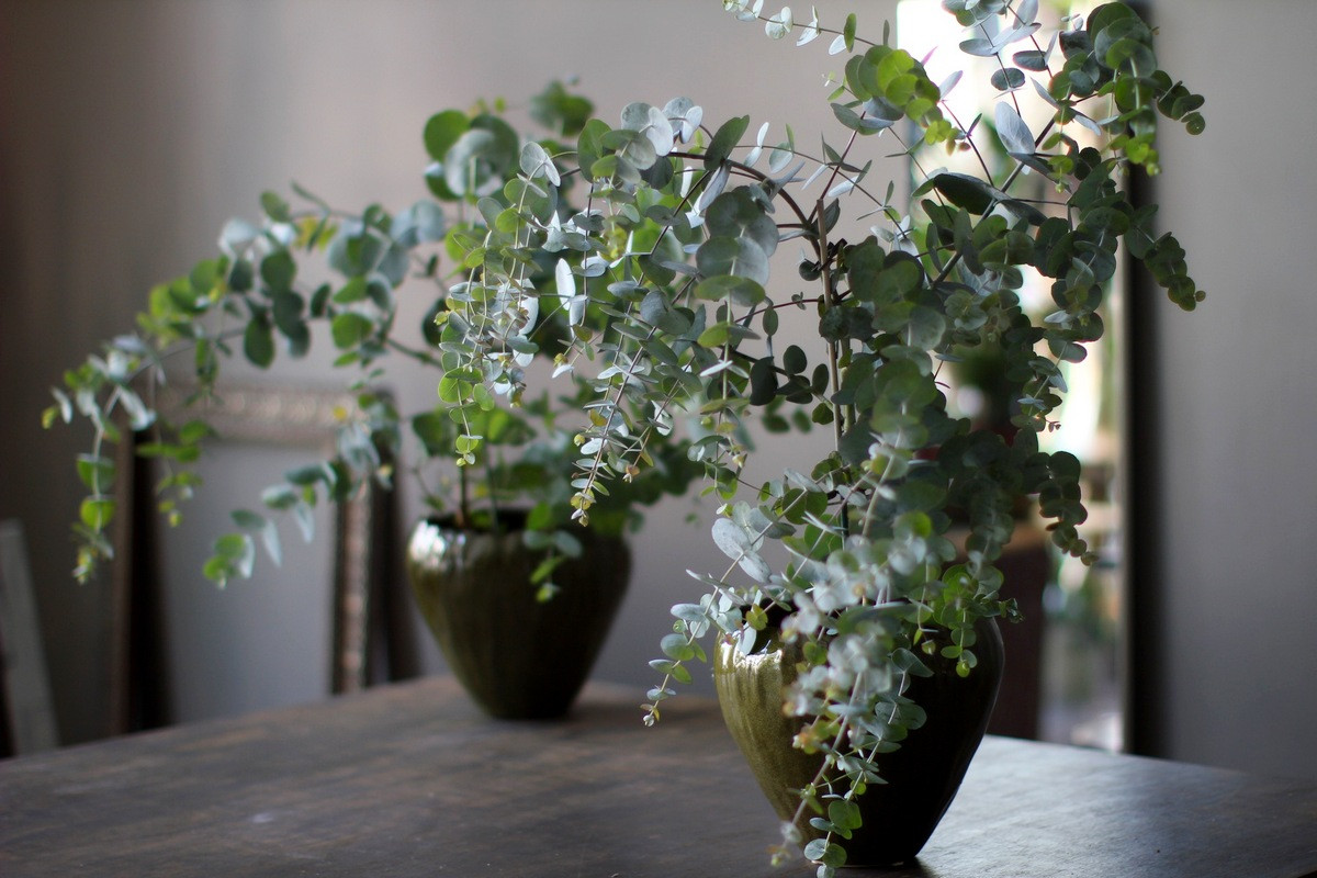 Эвкалипт «Бэйби Блу» из семян — мой опыт выращивания