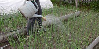 До середины лета поливайте грядки регулярно и обильно: 1 раз в 2-3 дня. Затем объемы поливов нужно сократить до 1-2 раз в неделю.