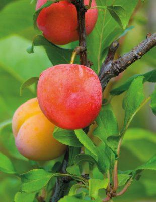 Гибрид персика, сливы и абрикоса – Шарафуга