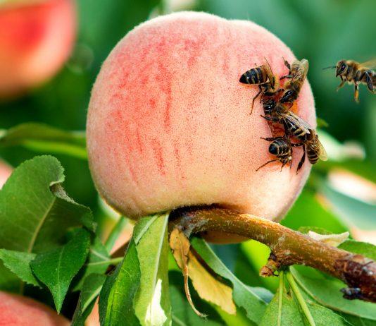 Осы и шершни — кого бояться и как бороться?