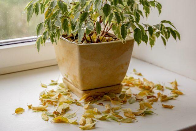 Почему опадают листья у фикусов?