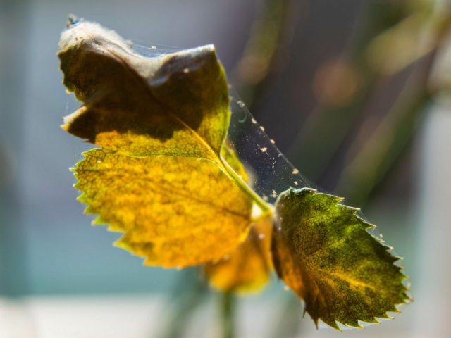 Чаще всего к серьезным проблемам у комнатных роз приводят паутинные клещи, розанный пилильщик и розанная тля