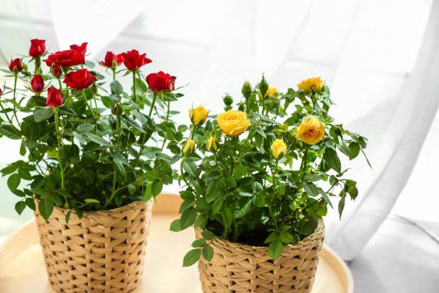 Чем выше температура, тем сильнее роза нуждается в свежем воздухе, повышенной влажности и ярком освещении