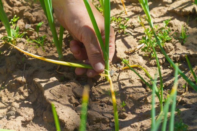 Луковая муха— главный вредитель, наносящий немалый урон посадкам в апреле и мае