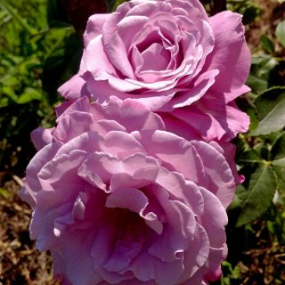 Лучший вариант цвета розы 'Blue Parfum'