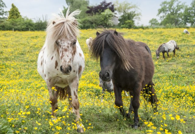 Самые интересные декоративные породы сельскохозяйственных животных