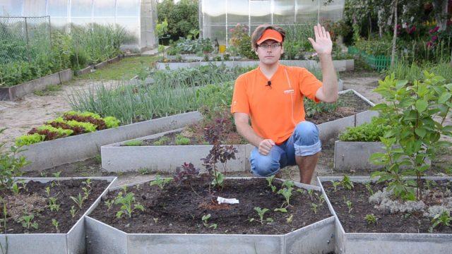 Скумпия: как посадить и выращивать «облачное дерево»?