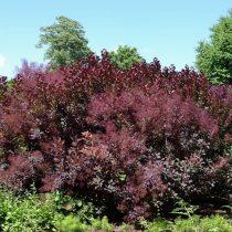 Скумпия «Роял Пурпл» (Royal Purple)