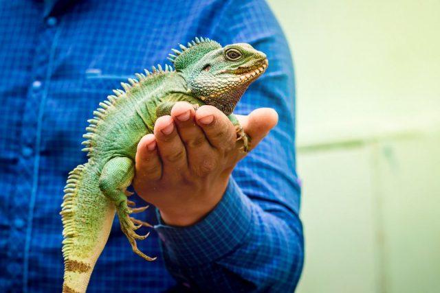 Игуана обыкновенная (Iguana iguana)