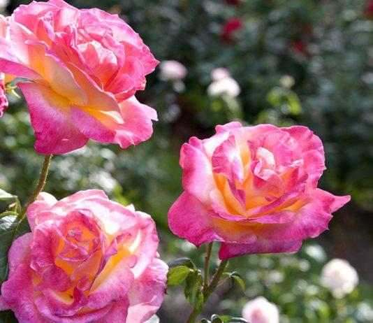 Уход за розами летом — главные правила