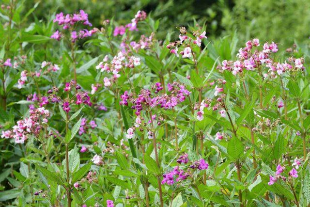 19 самых опасных инвазионных видов растений в России