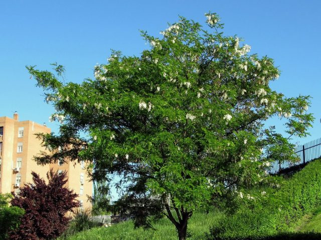 Белая акация, или Робиния лжеакациевая (Robinia pseudoacacia)